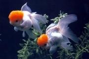 Il regno del pesce rosso for Pesce oranda